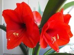 Scarlet Amaryliss Hippeastrum Seeds - $2.99