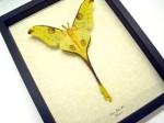 Argema Mittrei Fairy Comet Moth - $79.99
